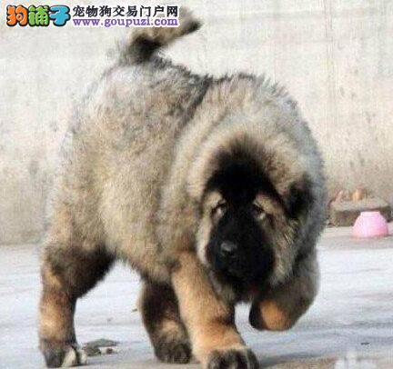 原生态血系的石家庄高加索犬待售中 三个月内包退换