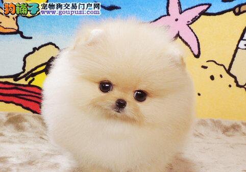 海南州出售CKU纯种博美幼犬 公母都有 包健康 签协议