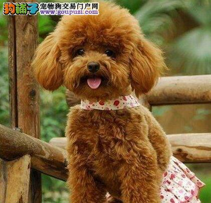 铜川出售颜色齐全身体健康泰迪犬可直接微信视频挑选4