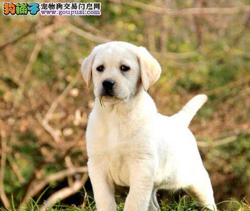 广州售纯种拉布拉多 拉拉 导盲犬 神犬小七