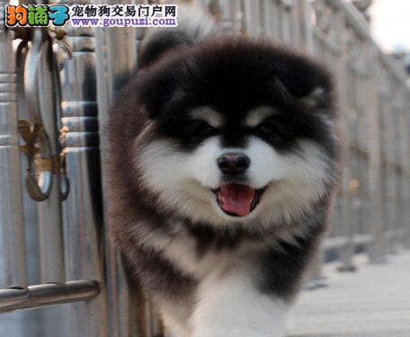 西安大型基地直销阿拉斯加雪橇犬 保健康送用品3