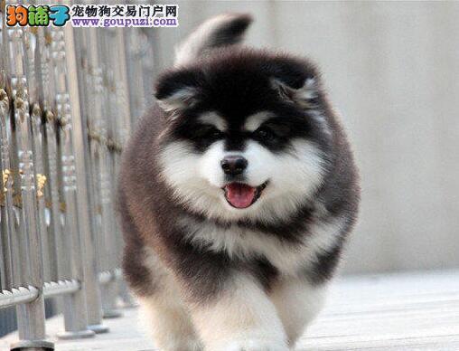 西安大型基地直销阿拉斯加雪橇犬 保健康送用品2