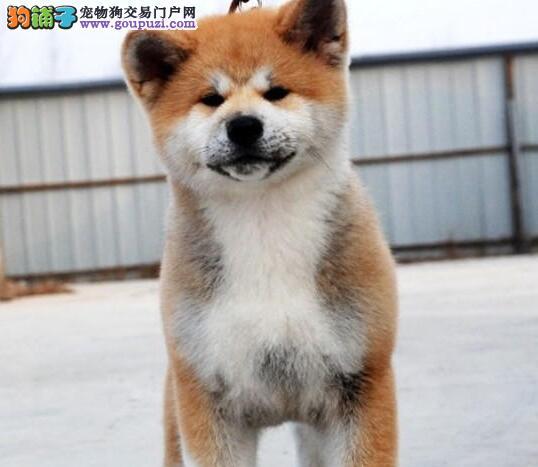 雅安纯种大骨架日本秋田犬幼犬出售疫苗驱虫已做好