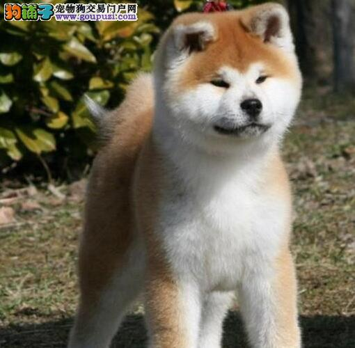 四平秋田犬价格 秋田犬出售 可视频看狗包半年健康