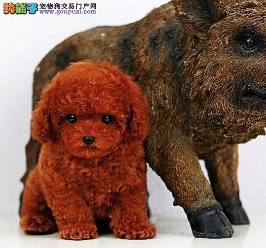 延安泰迪犬宝宝出售保证健康品质优良专业喂养精心繁殖2