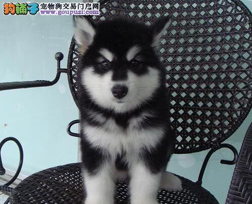 阿拉斯加犬CKU认证犬舍自繁自销可签合同刷卡