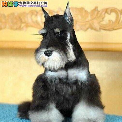典型的迷你雪纳瑞武汉直销 勇敢的警惕的容易驯服的图片