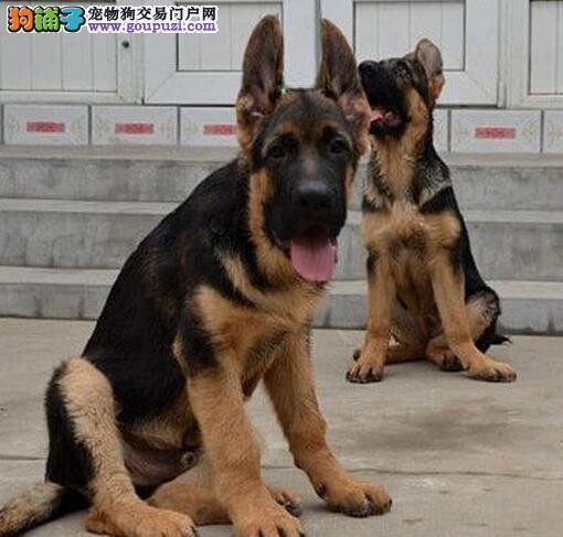 名犬基地繁殖出售纯种合肥德国牧羊犬 价格低廉品质高2