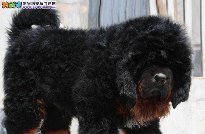 CKU认证犬舍 专业出售极品 藏獒幼犬质保三年支持送货上门