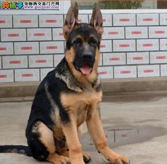 名犬基地繁殖出售纯种合肥德国牧羊犬 价格低廉品质高3