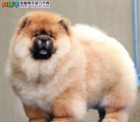 肉嘴紫舌头超大毛量的郑州松狮犬特价促销 可刷卡送货