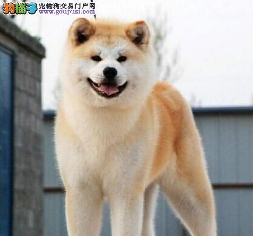 呼和浩特纯种高品质秋田犬 品质健康双保障可视频看狗