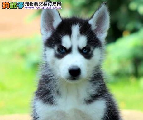出售赛级双血统的石家庄的哈士奇幼犬 签订购犬协议