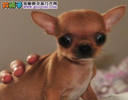 石家庄犬舍出售超小体大眼睛的吉娃娃 送货到您家