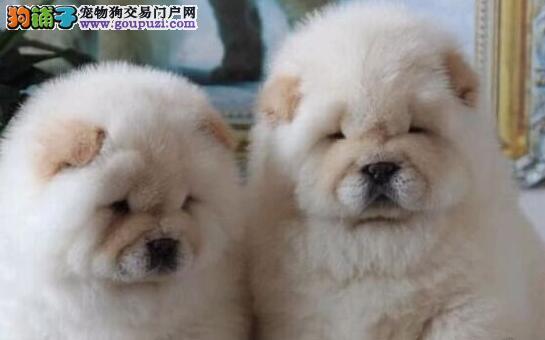 肉嘴品相的长沙松狮犬低价出售中 价格公道品种优良