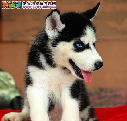 狗场全程实拍上海繁殖售哈士奇犬微信视频送狗上门