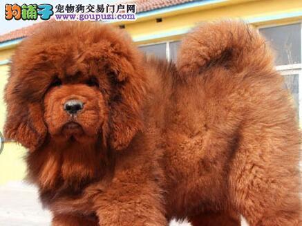 大狮子头铁头包金血系的呼和浩特藏獒幼崽超低价出售