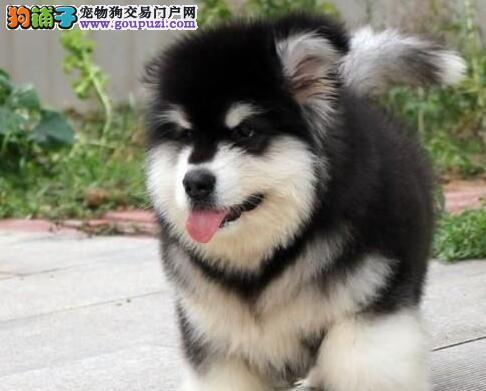 骨骼健硕高大威猛的温州阿拉斯加犬低价优惠出售中1