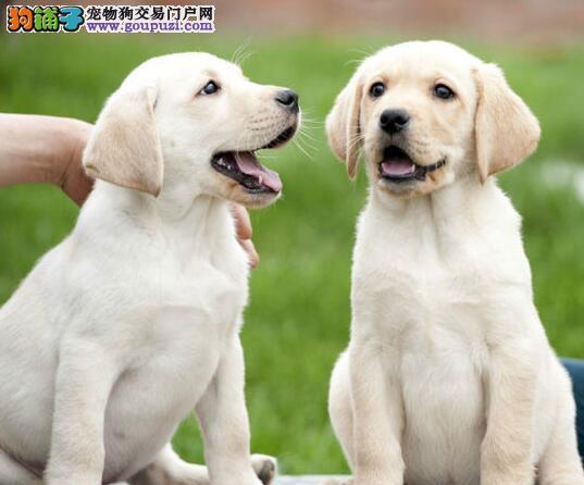 纯种神犬小七拉布拉多犬出售 健康拉布拉多 质量三包