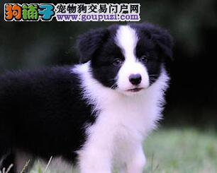 边境牧羊犬CKU认证犬舍自繁自销喜欢来电咨询