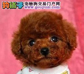 出售铜仁泰迪犬健康养殖疫苗齐全狗贩子请勿扰2