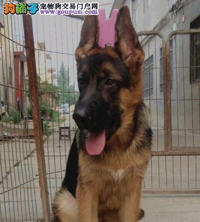高品质德国牧羊犬转让、可看狗狗父母照片、可签保障协议1
