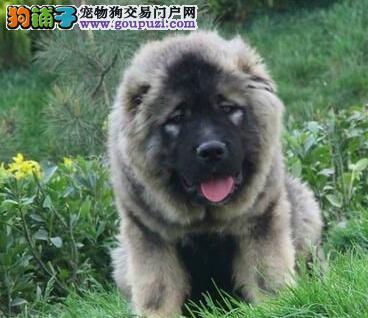 广州直销熊版巨型高加索幼犬 正规狗场繁殖顶级血统