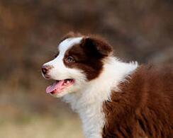 西安售卖七白到位边境牧羊犬 边牧幼犬疫苗驱虫已做