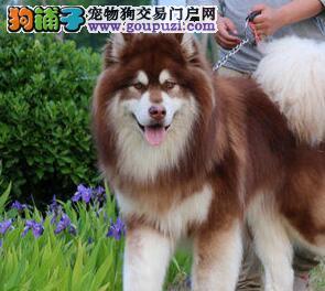 骨骼健硕高大威猛的温州阿拉斯加犬低价优惠出售中3