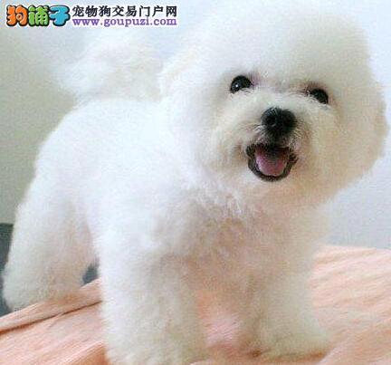 北京出售比熊颜色齐全公母都有期待您的来电咨询