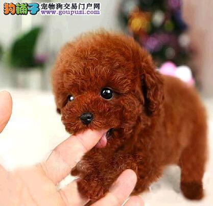 资阳犬舍出售纯种泰迪犬幼犬疫苗驱虫已做可签协议保障
