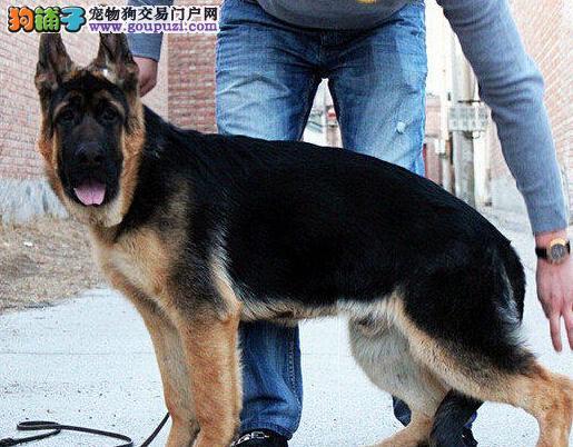 北京实体德牧狗场直销纯种德国牧羊犬来场可看狗父母