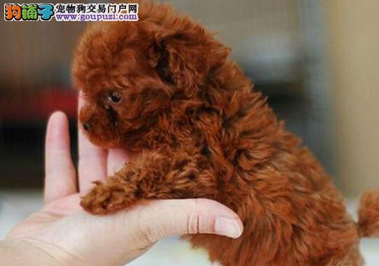 宁波售泰迪幼犬泰迪熊宝宝 卷毛犬 小贵宾公母全有