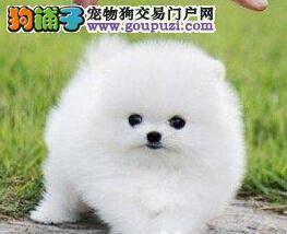 重庆漂亮的哈多利球体博美犬宝宝出售了 终身包纯健康