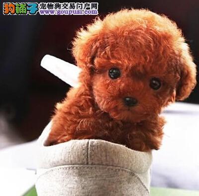 泰迪犬找新家、品质第一价位最低、可送货上门