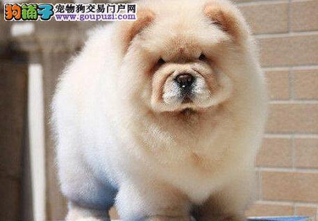 遂宁有卖松狮犬纯种肉嘴面包嘴松狮幼犬出售健康好品相