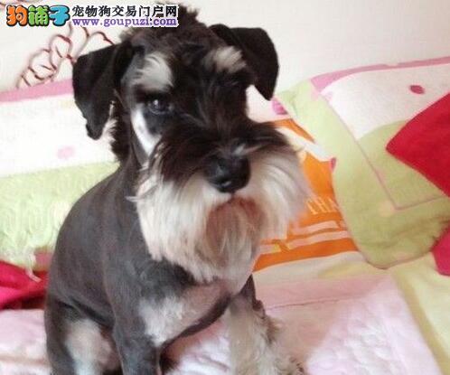 呼和浩特实体狗场出售实物拍摄的雪纳瑞幼犬 欲购从速
