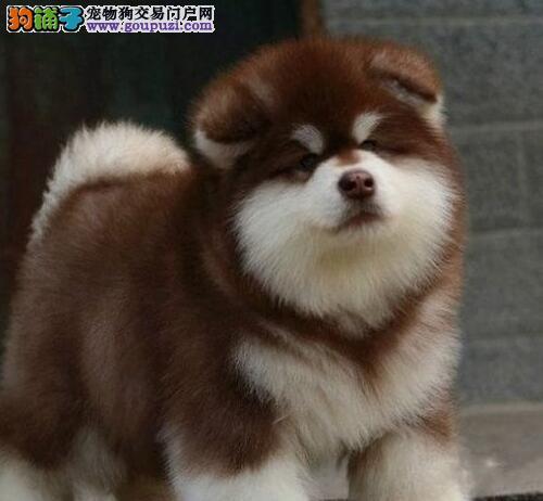 知名犬舍出售多只赛级阿拉斯加犬办理血统证书