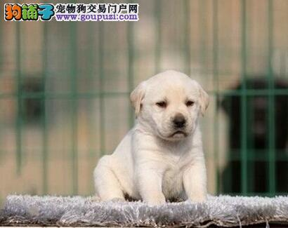 重庆出售优质拉布拉多导盲犬遗传基因好 专业繁殖