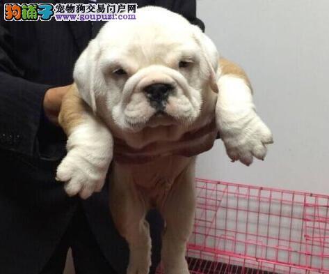北京高品质大鼻筋香炉腿玫瑰耳螺旋尾顶级英国斗牛犬