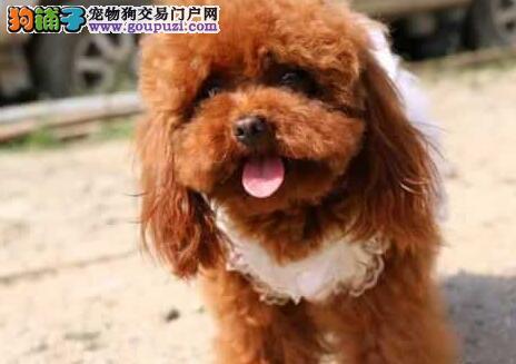 热销多只优秀的纯种泰迪犬幼犬质量三包完美售后3