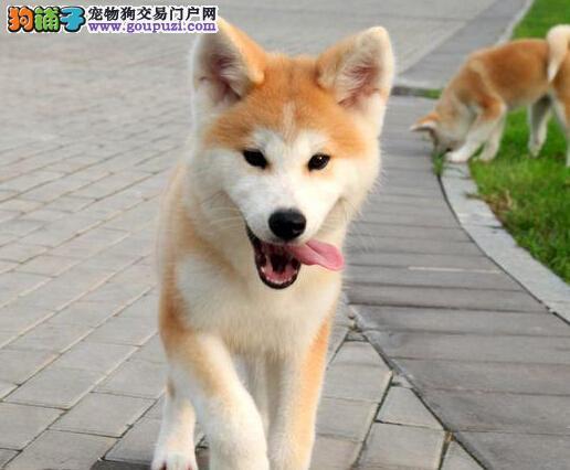 秋田犬幼犬出售中 包纯种健康 价格优惠 包售后签协议