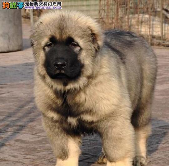 莱芜市出售高加索幼犬 公母都有 看上门看狗 终身质保