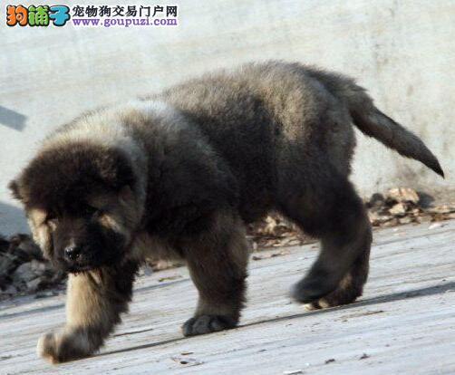 原生态顶级护卫俄系血统贵阳高加索幼犬出售中 签协议3