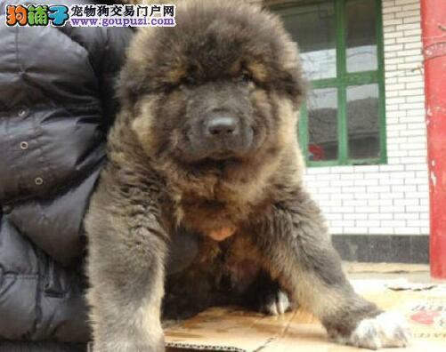 原生态顶级护卫俄系血统贵阳高加索幼犬出售中 签协议2