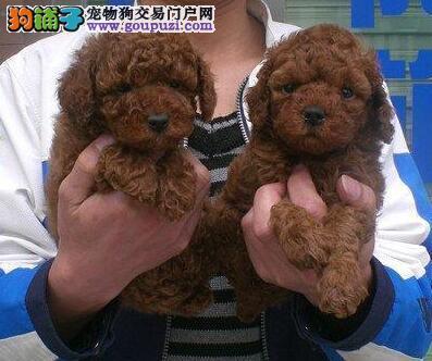 成都售贵宾犬 泰迪犬 泰迪熊宝宝 公母全有欢迎选购3