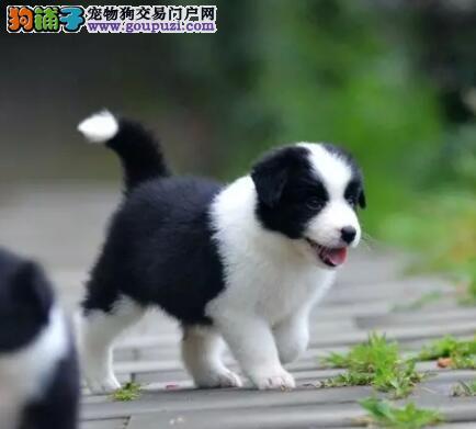 狗场热销重庆顶级边境牧羊犬 血统正宗疫苗驱虫已做