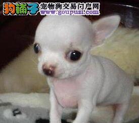 重庆狗舍直销吉娃娃 价格优惠不忽悠品质高