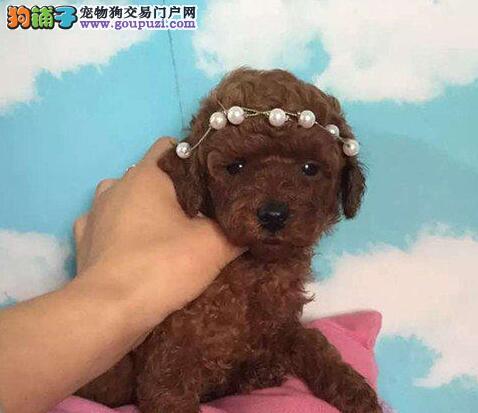 襄樊特价玩具泰迪犬出售茶杯泰迪 纯种健康有保障
