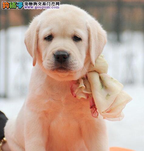 六安拉布拉多犬出售 骨量超大毛色超好 购犬签质保协议